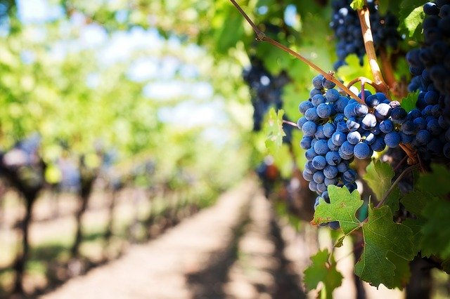 Proč Bulharská vína v poměřování bobulí vítězí?